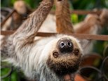 Paint with Xena the Sloth!